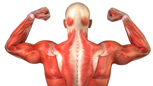 parts of the muscular system - parts of the musculoskeletal system, Muscles